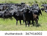 Small photo of African Buffalo in the African savannah Masai Mara