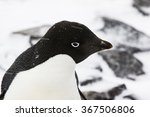 Small photo of Adelie Penguin