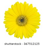 yellow gerbera flower isolated... | Shutterstock . vector #367512125