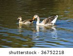 some ducks swimming around in a ... | Shutterstock . vector #36752218
