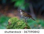 white thrush or tiger thrush... | Shutterstock . vector #367590842