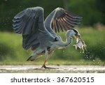 Grey Heron With Open Wings ...