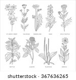 medical herbs vector set. hannd ... | Shutterstock .eps vector #367636265