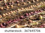 Small photo of Onions (Allium cepa) Drying in the Summer Sun on a Vegetable Plot at Rosemoor, Devon, England, UK