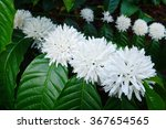 coffee tree blossom with white... | Shutterstock . vector #367654565