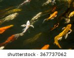 Koi Fish Swimming Beautiful...