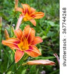 Day Lily