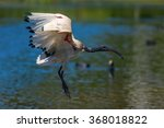 A Sacred Ibis With Red Wing...