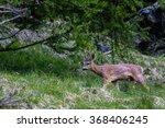 A Male Roe Deer Grazes On A...