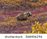 this grizzly bear in denali... | Shutterstock . vector #368406296