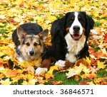 Cardigan Welsh Corgi and Bernese Mountain dogs laying in autumn leaves - stock photo