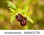 Early Spider Orchid  Ophrys...