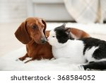 Stock photo beautiful cat and dachshund dog on rug indoor 368584052