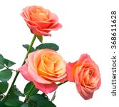 Stock photo bunch of pink roses isolated on white background 368611628