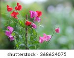 Sweet Pea Flowers On Natural...