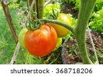 ripe garden tomatoes ready for... | Shutterstock . vector #368718206