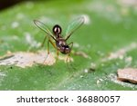 Small photo of Macro shot of a sepsidae fly