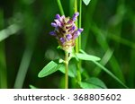 Small photo of Self-heal (Prunella, heal-all, or allheal), used in herbal medicine.