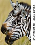 Portrait Of Two Zebras. Kenya....
