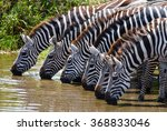several zebras drinking water... | Shutterstock . vector #368833046