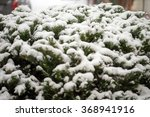 Green Bush Covered With Snow  ...