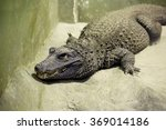Small photo of African dwarf crocodile The African dwarf crocodile is the smallest of the currently existing crocodile species, is widely distributed in freshwater bodies of West Africa.