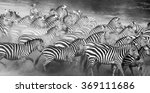 Group Of Zebras In The Dust....