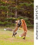 Two immature foxes playfully fighting each other