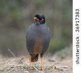 Small photo of Bank Myna; Acridotheres ginginianus