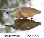Brown Backed Heron.