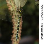 Small photo of Southern Hawker dragonfly, (Aeshna cyanea), male hanging from a leaf, Gloucestershire, England, UK.