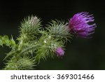 Welted Thistle   Cirsium...