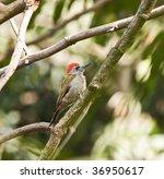 grey woodpecker | Shutterstock . vector #36950617