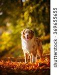 australian shepherd on the... | Shutterstock . vector #369655655