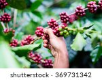 agriculturist hand picking red... | Shutterstock . vector #369731342