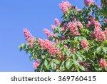 Flower Of Chestnut Tree Of Pink ...