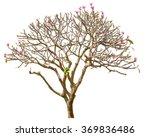 plumeria tree isolated. | Shutterstock . vector #369836486