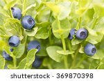 blueberries wild forest sweet... | Shutterstock . vector #369870398