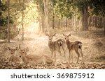 Group Of Brow Antlered Deer In...