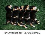 Stock photo sleeping little cute puppies entlebucher on the green grass 370135982