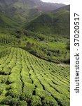 tea plantation at the cameron... | Shutterstock . vector #37020517
