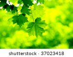 green leaves background in a... | Shutterstock . vector #37023418