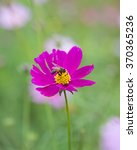 Small photo of Bombyliidae bee on purple flower