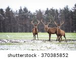 Red Deer Stags  Cervus Elaphus...