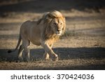 Male Lion Patrolling Territory...