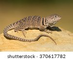 Common Collared Lizard On The...