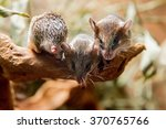 Small photo of Southern African spiny mouse (Acomys spinosissimus)