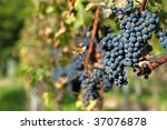Red bunches of grape in the vineyard before the harvest - stock photo