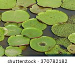 Small photo of Victoria is a genus of water-lilies, in the plant family Nymphaeaceae, Amazona Brazil