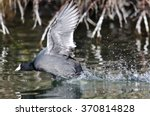 American Coot On The Attack